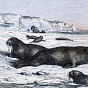 Walruses On Ice Field Poster
