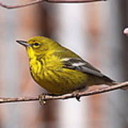 Warbler - Pine Warbler - Oh So Yellow Poster