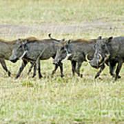 Warthogs In Masai Poster