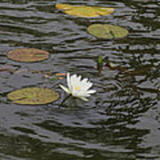 Water Circles On The Lily Pond Poster