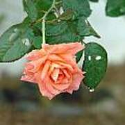 Water Dripping From A Peach Rose After Rain Poster