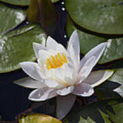 Water Lily 1 Poster