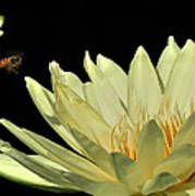 water lily 3 Yellow Water Lily with Bee Poster