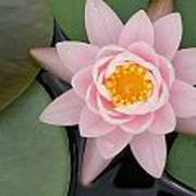 Water Lily Centered Poster