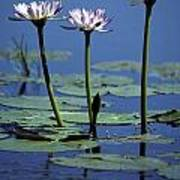 Water Lily Flowers Bloom From A Wetland Poster