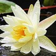 Water Lily In White Poster