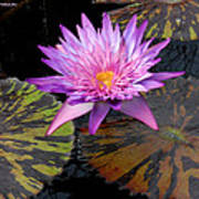 Water Lily Magic Poster
