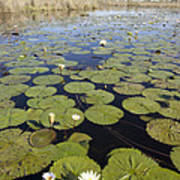 Water Lily Nymphaea Sp Flowering Poster