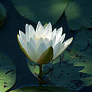 Water Lily Reaching Poster