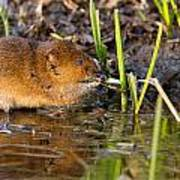 Water Vole At Dusk Poster