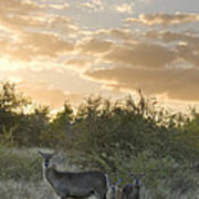 Waterbuck Kobus Ellipsiprymnus Mother Poster
