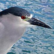 Watercolored Black-crowned Night-heron Poster