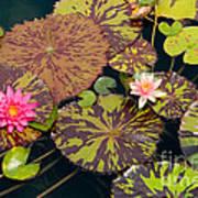 Waterlilies In A Garden Pool Poster