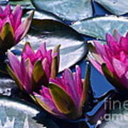 Waterlilies In Bright Sunlight Poster