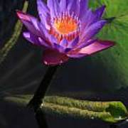 Waterlily 1 Poster