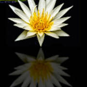 Waterlily And Reflection Poster
