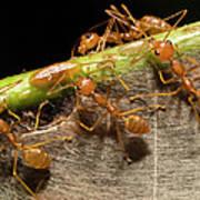Weaver Ant Oecophylla Longinoda Group Poster