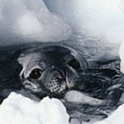 Weddell Seal Poster