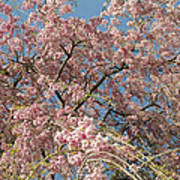 Weeping Cherry Tree In Bloom Poster