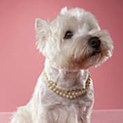 West Highland Terrier Wearing Pearl Necklace Poster