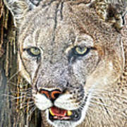 Western Mountain Lion Poster