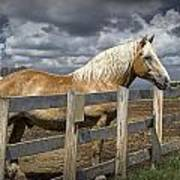 Western Palomino Horse In Alberta Canada No.1335 Poster