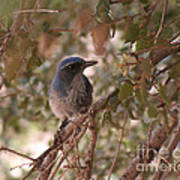 Western Scrub Jay Poster by Chris Hill