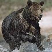 Wet Grizzly Bear Running In Stream Poster
