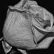 Wet White Rose Poster