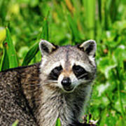 Wetlands Racoon Bandit Poster