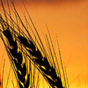 Wheat At Sunset Poster