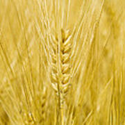 Wheat Poster by Paul Rapson