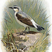 Wheatear, Historical Artwork Poster