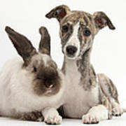 Whippet Pup With Colorpoint Rabbit Poster