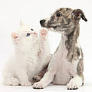 Whippet Puppy And Kitten Poster