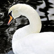 Whistling Swan Poster