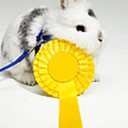 White And Black Rabbit On Blue Leash With Yellow Rosette Poster by Michael Blann