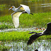 White And Grey Herons In Flight Poster
