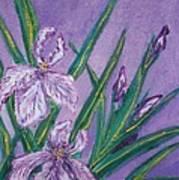 White And Mauve   Irises Poster