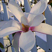 White And Pink Magnolia Poster
