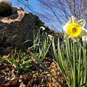 White And Yellow Daffodil Flower Poster