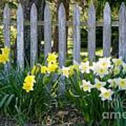 White And Yellow Daffodils Poster