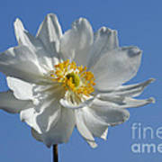 White Anemone Blue Sky Poster