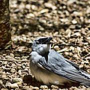 White-bellied Cuckoo-shrike Poster