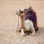 White Camel Poster by Jane Rix