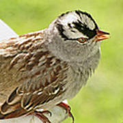 White Crowned Sparrow II Poster