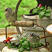 White Crowned Sparrows On The Flower Pot  Poster