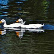 White Ducks At Sterne Park Poster
