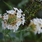 White Flower Poster by Beverly Hammond