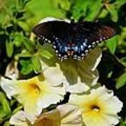 White Flower Butterfly Poster
